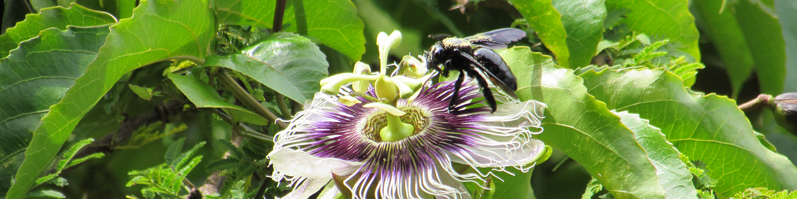 Photo from the First Photography Contest – PPGADR – Your Look on the Environment. The Flirt. Leticia Bolonha Lucati. A black bumble bee with golden pollen on the surface is pollinizing a white-and-purple passion fruit flower.
