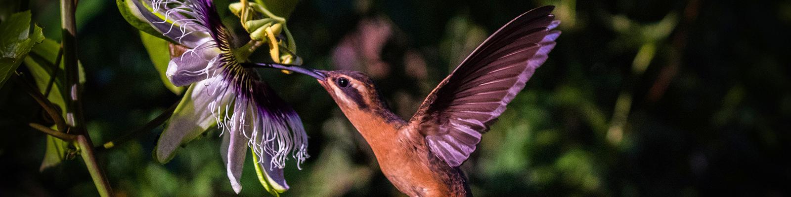 Foto do 1º Concurso de Fotografia – PPGADR - Seu Olhar Sobre o Ambiente. Beija-flor-de-maracujá. Raul M. C. dos Santos. Pássaro beija-flor da cor marrom em voo e sugando o néctar de uma flor de maracujá de cor roxa.