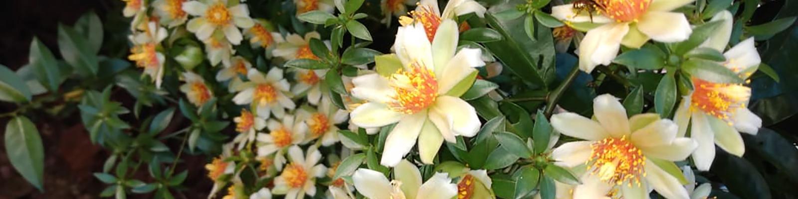 Foto de Flores de Ora-pro-nóbis. Tereza Cristina Roesler Ré.  Várias flores pequenas na cor branca peroladas com o centro amarelo.
