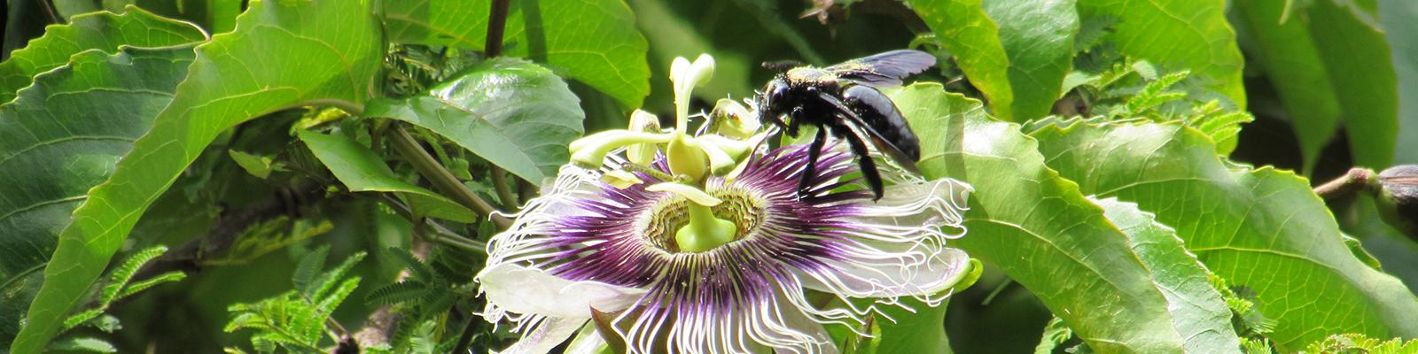 Foto do 1º Concurso de Fotografia- PPGADR - Seu Olhar Sobre o Ambiente. O Flerte. Leticia Bolonha Lucati. Uma abelha mamangava, cor preta e com pólen dourado na superfície está polinizando uma flor de maracujá branca e roxa.